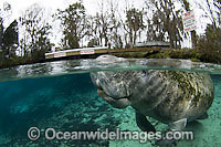 Florida Manatee in Three Sisters Spring Photo - Michael Patrick O'Neill