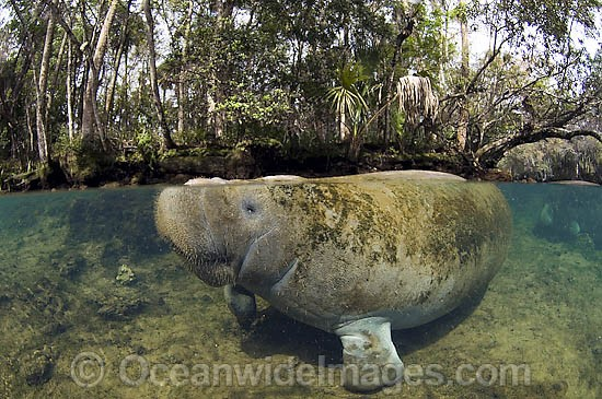 Captive Florida Manatee (Trichechus manatus latirostrus) in Homosassa Springs State Park in northwestern Florida, USA