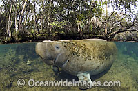 Captive Florida Manatee in Homosassa Springs Photo - Michael Patrick O'Neill