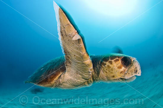 Loggerhead Sea Turtle (Caretta caretta). Found in tropical and warm temperate seas worldwide. Endangered species listed on IUCN Red list. Photo - Michael Patrick O'Neill