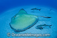 Roughtail Stingray with Cobia Photo - Michael Patrick O'Neill