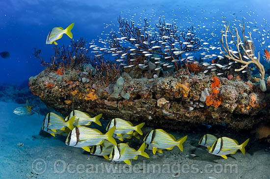 Coral Reef scene showing schooling Porkfish (Anisotremus virginicus) and Cardinalfish sheltering amongst an out-crop covered in a variety of healthy corals and sponges. Palm Beach, Florida, USA