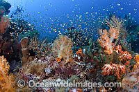 Reef Scene of Cardinalfish and coral photo