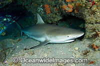 Caribbean Reef Shark sleeping in cave Photo - Michael Patrick O'Neill