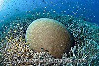 Brain Coral and Acropora Coral Photo - Michael Patrick O'Neill