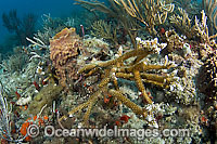 Endangered Staghorn Coral Florida Photo - Michael Patrick O'Neill
