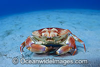 Batwing Crab Carpilius corallinus Photo - Michael Patrick O'Neill