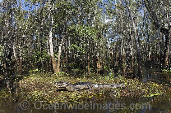Yacare Caiman or Paraguay Caiman (Caiman yacare) in the Pantanal, Mato Grosso do Sul, Brazil (Amazon). Photo - Michael Patrick O'Neill