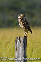 Burrowing Owl Athene cunicularia photo