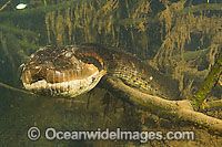 Green Anaconda underwater Photo - Michael Patrick O'Neill