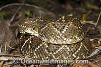 Neotropical Rattlesnake Crotalus durissus Photo - Michael Patrick O'Neill