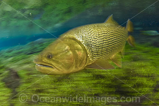 Dourado (Salminus brasiliensis), a large, predatory gamefish found in Central and Western Brazil. It can reach up to 4ft. in length and 40lbs and lives in large and small rivers in the region. Photo taken crystal clear stream in Mato Grosso do Sul, Brazil
