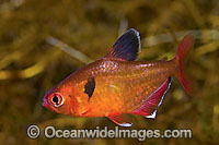 Serpae Tetra Hyphessobrycon eques Photo - Michael Patrick O'Neill