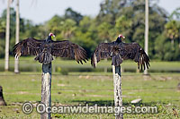 Turkey Vultures Cathartes aura photo