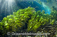 Pondweed in clear spring stock photo
