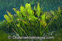 Water Plantain Echinodorus macrophyllus stock photo
