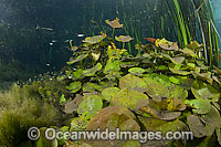 Water Lily Nymphaea gardneriana stock photo