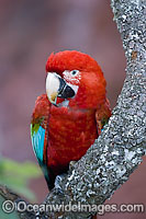 Red-and-green Macaw Ara chloropterus Photo - Michael Patrick O'Neill