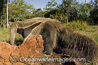Captive Giant Anteater (Myrmecophaga tridactyla) in Mato Grosso do Sul, Brazil. This species is considered threatened due to habitat destruction. Photo: Michael Patrick O'Neill