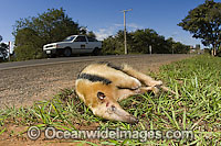 Dwarf or Collared Anteater (Tamandua tetradactyla) killed by a car in Mato Grosso do Sul, Brazil. Photo: Michael Patrick O'Neill