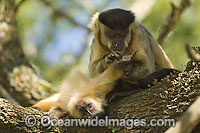 Brown Capuchin Monkey grooming young image