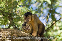 Brown Capuchin Monkey image