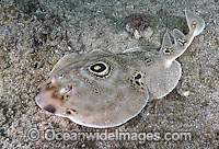 Bullseye Electric Ray Diplobatus ommata Photo - Andy Murch