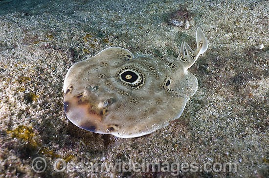 Bullseye Electric Ray (Diplobatis ommata). Also known as Bulls-eye Electric Ray. Sea of Cortez, Cabo pulmo, Baja, Mexico.