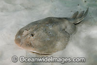 Lesser Electric Ray Narcine bancroftii
