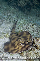 Banded Guitarfish Zapteryx exasperata photo