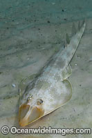 Atlantic Guitarfish Rhinobatos lentiginosus photo