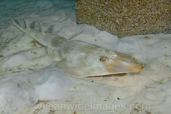 Atlantic Guitarfish Rhinobatos lentiginosus