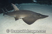 White-spotted Guitarfish Rhynchobatus djiddensis photo
