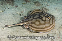Bullseye Stingray Urobatis concentricus Photo - Andy Murch