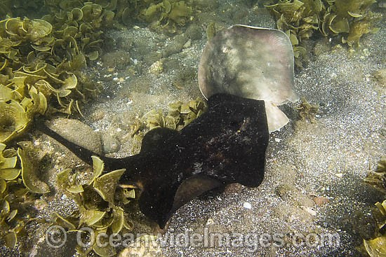 A male Round Stingray (Urobatis halleri) - grips the tail and pelvic fins of a female in order to subdue her before mating. Mullege, Sea of Cortez, Baja, Mexico. Photo - Andy Murch