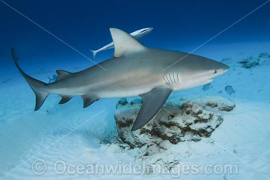 bull shark facts. ull shark attacking.