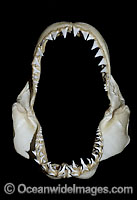 Great White Shark Jaws Photo - Andy Murch