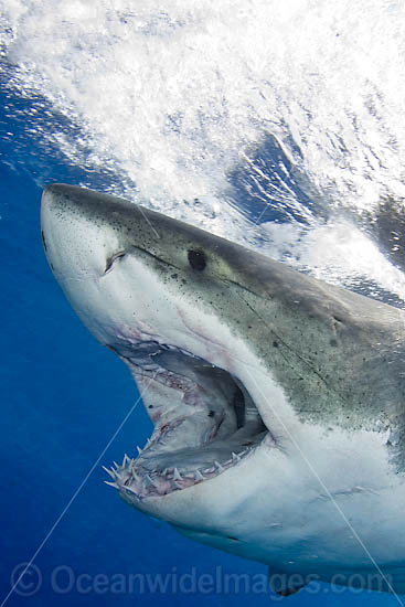 Great White Shark (Carcharodon carcharias) underwater. Found throughout the world's oceans. Protected in South Africa, Namibia, Australia, the USA and Malta. Photo taken Guadalupe Island, Mexico, Eastern Pacific Ocean.