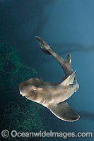 Horn Shark Heterodontus francisci Photo - Andy Murch