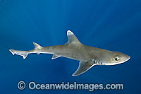 Gulf Smoothhound Shark Mustelus sinusmexicanus photo