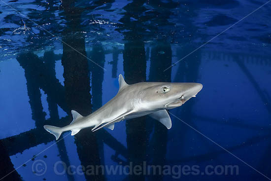 Gulf Smoothhound Shark (Mustelus sinusmexicanus) - swimming under an oil rig in the northern Gulf of Mexico, Louisiana, USA. Found in tropical waters of the continental shelves of the western central Atlantic. Photo - Andy Murch