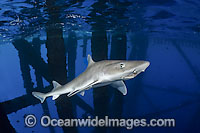 Gulf Smoothhound Shark swimming under oil rig Photo - Andy Murch