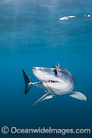 Shortfin Mako Shark underwater Photo - Andy Murch