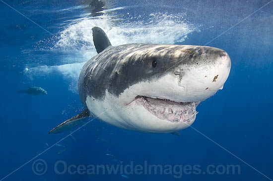 Great White Shark (Carcharodon carcharias). Found throughout the world's oceans mostly in temperate and sometimes warm waters. Protected in South Africa, Namibia, Australia, the USA and Malta. Photo taken Guadalupe Island, Mexico, Eastern Pacific Ocean.