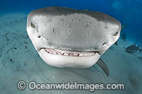 Tiger Shark underwater Photo - Andy Murch