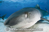 Tiger Shark skin membrane covering eye Photo - Andy Murch