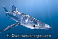 Blue Shark Photo - Andy Murch