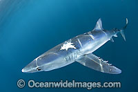 Blue Shark Blue Whaler Photo - Andy Murch