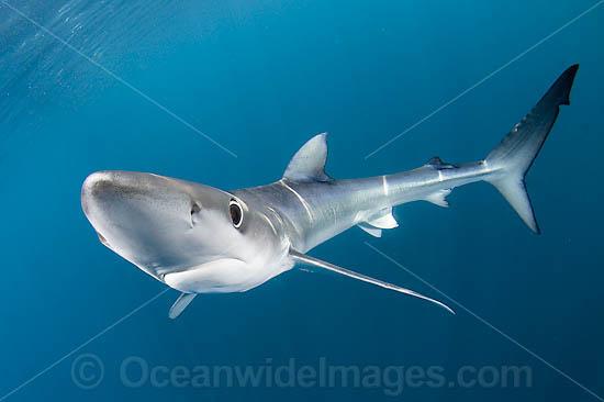 Blue Shark Catfish