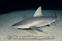 Sandbar Shark Photo - Andy Murch